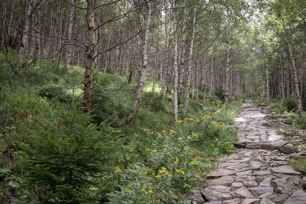 Wanderweg durch den Birkenwald