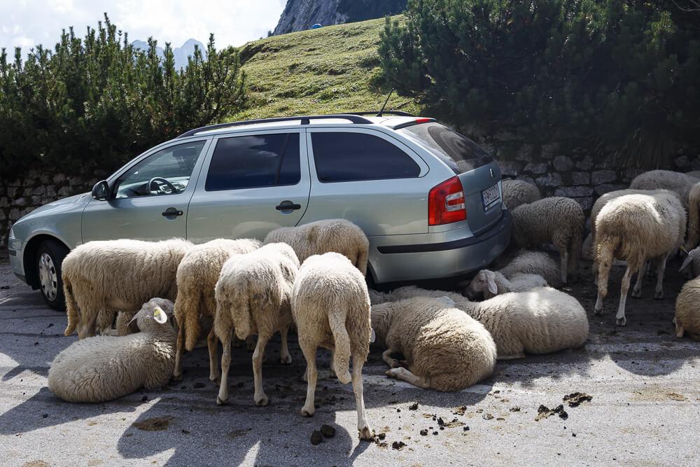 Schafe vor Auto