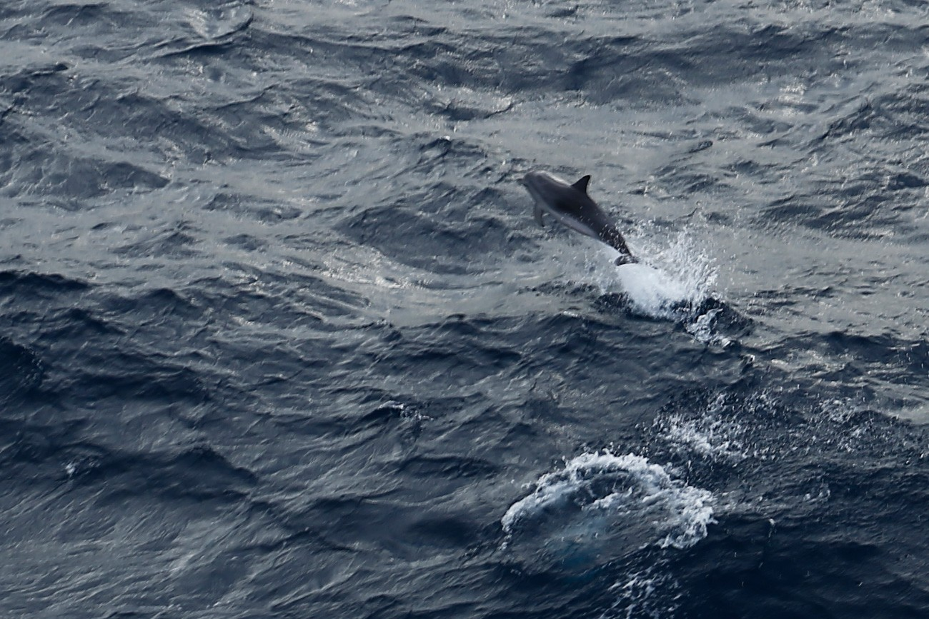 Delfine toben im Meer